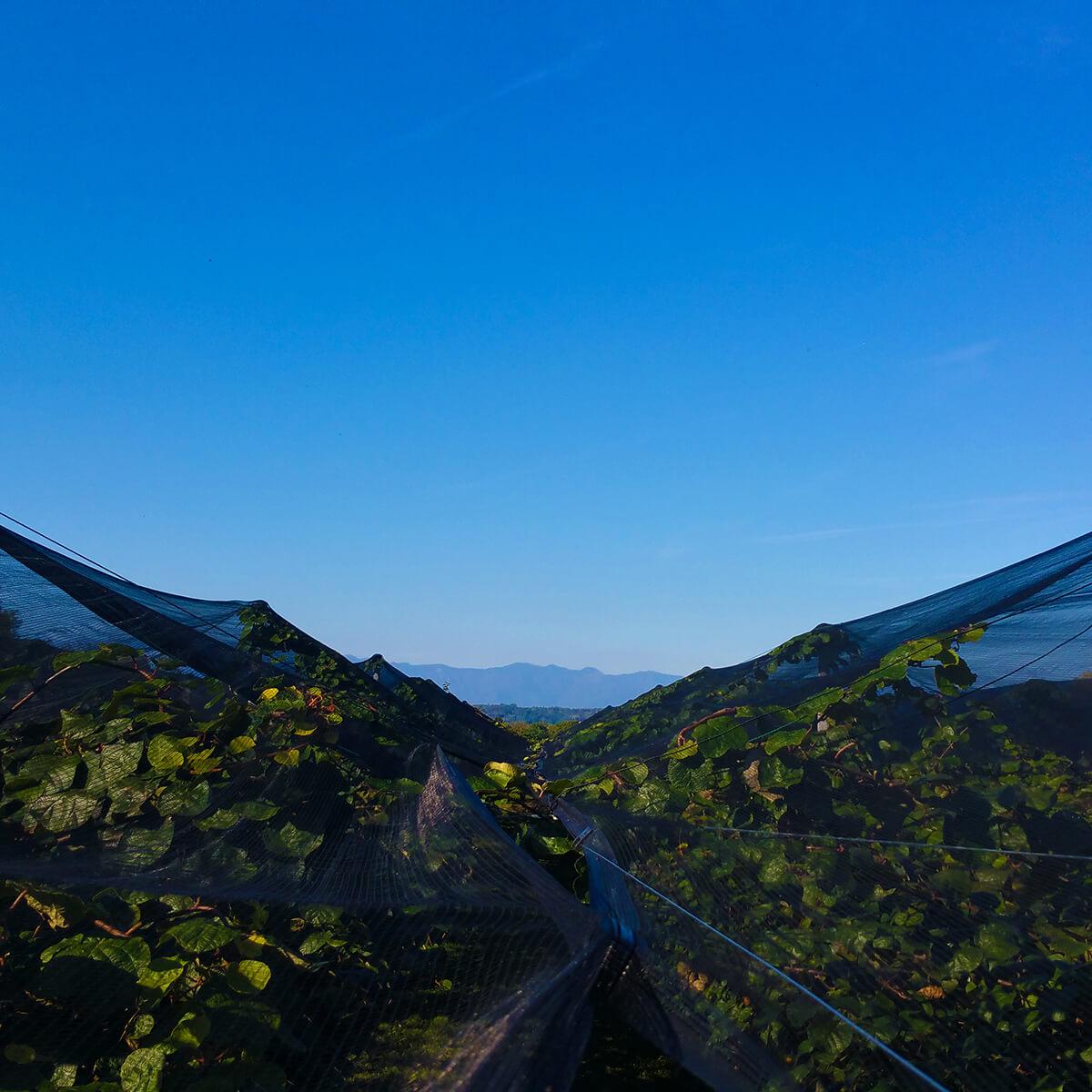 Piantagione kiwi e vista su Dolomiti
